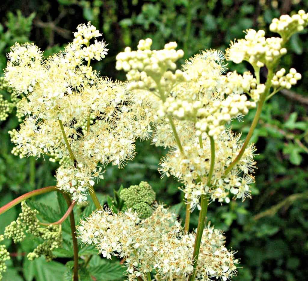 Meadowsweet Flowers