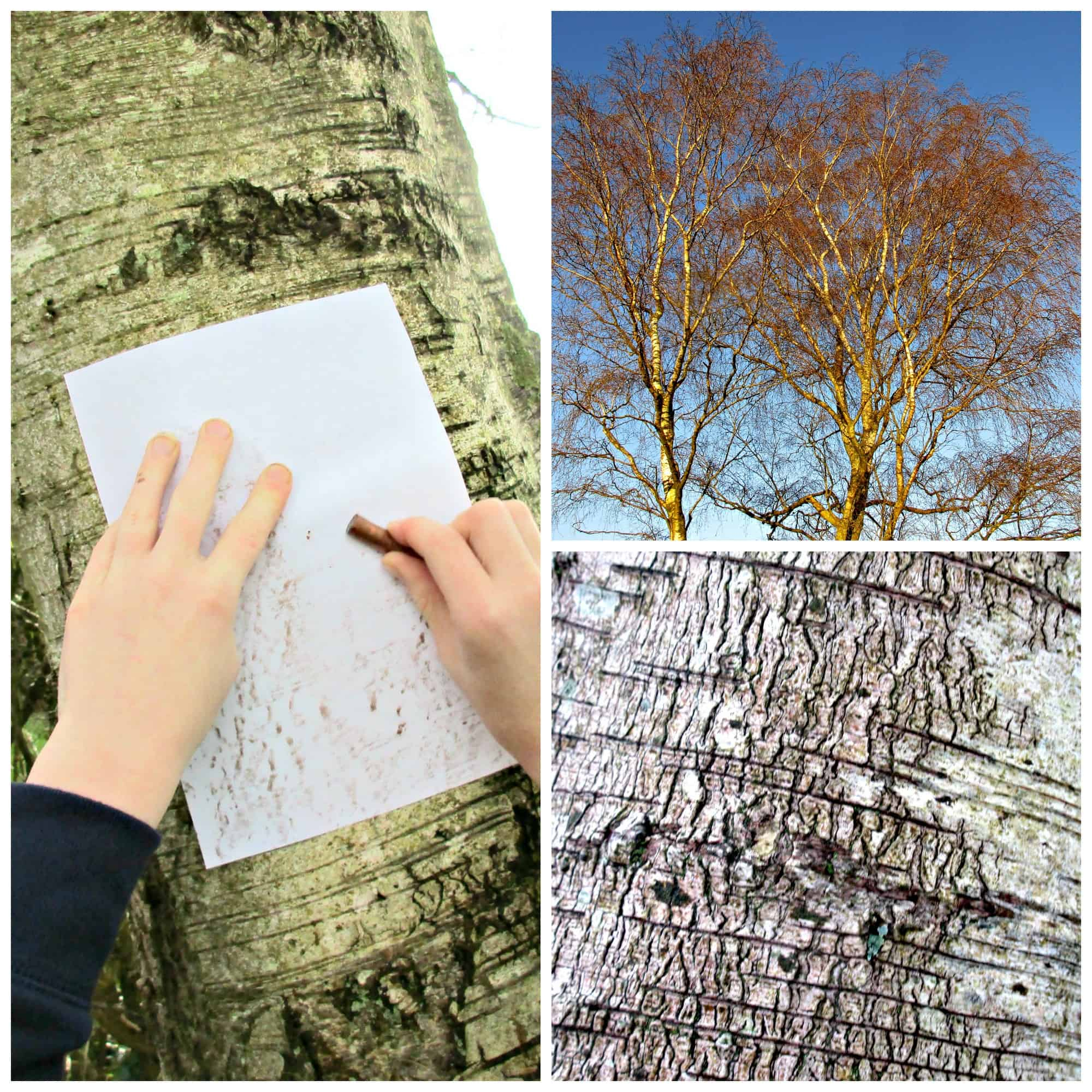 Tree bark varies wildly between species of trees, and taking a tree bark rubbing is a great way to focus on the different patterns and textures,
