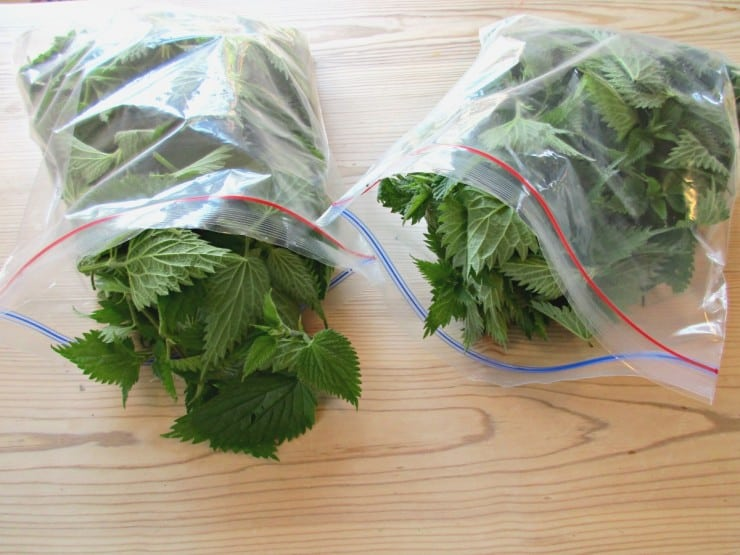 Nettle Cordial - collect nettles