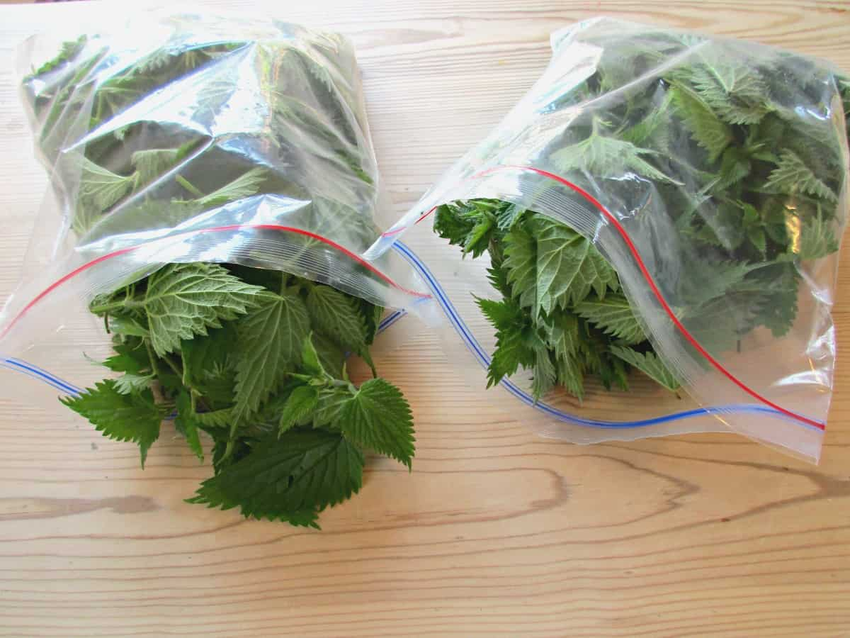Google the health benefits of stinging nettles, and you will find the most incredible list of diseases and complaints that this plant has been attributed to helping with. Here we show you how to make Stinging Nettle Cordial. This recipe tastes delicious and is nice and simple to make.