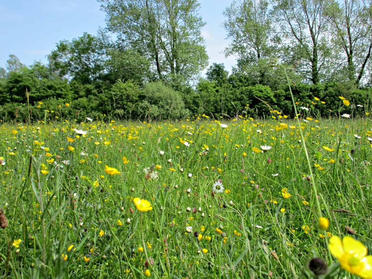 Traditional hay meadows are a beautiful part of the UK's countryside, and are a rich and colourful habitat full of flowers and grasses. We visited one as part of our #30DaysWild activities.