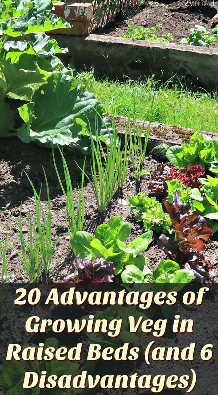 Raised beds are a brilliant way to establish a vegetable garden. Here are 20 advantages and 6 |disadvantages of growing veg in raised beds. #vegetablegardening #raisedbeds #raisedvegetablebeds #vegetablegarden #gardenboxes