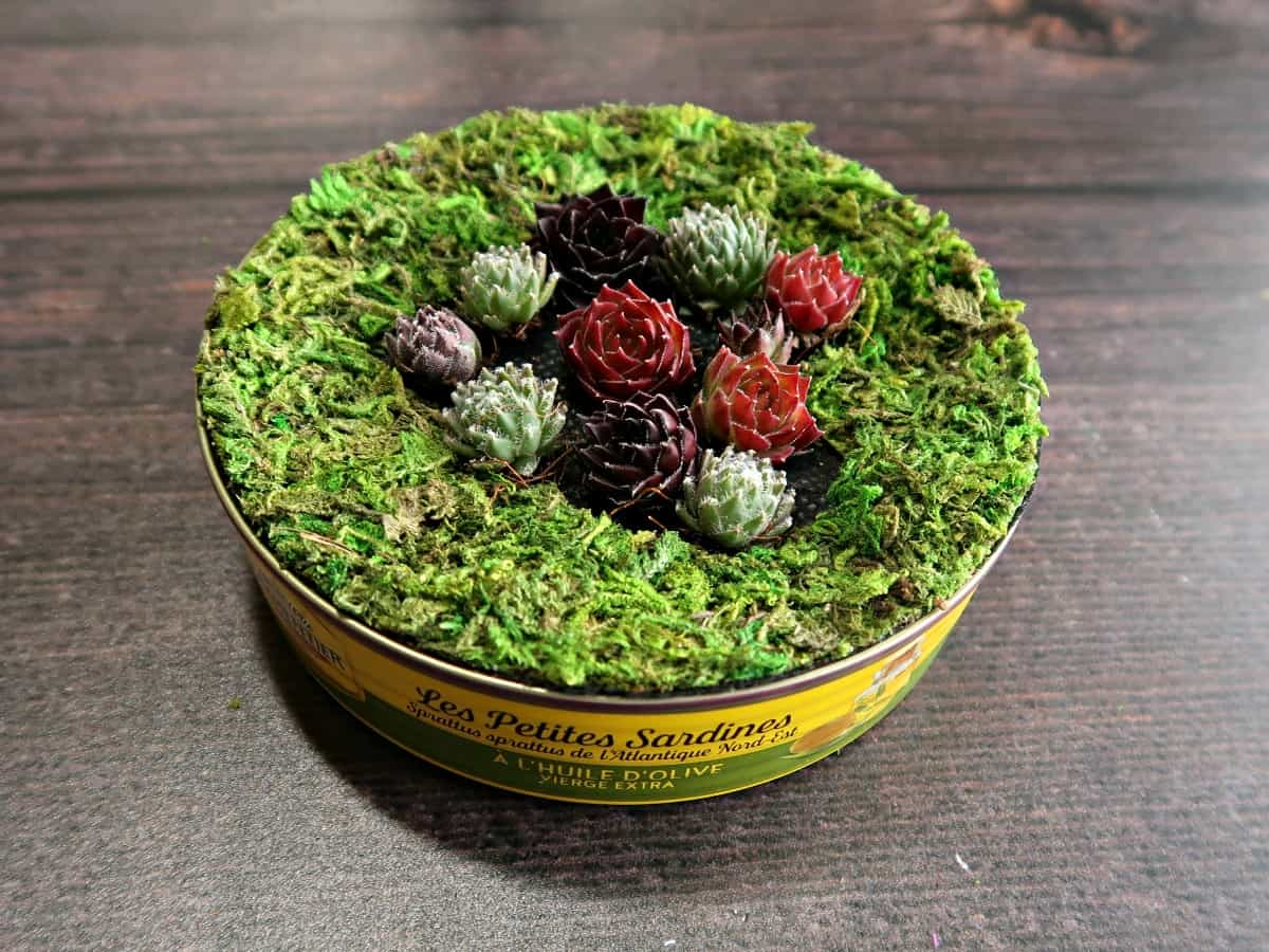 I love coming up with waste material craft ideas. Recycling materials and trash to treasure projects are not only good for the environment, but they're also free craft supplies too. This simple mini succulent planter is made out of a tin can and succulent cuttings. It looks super cute and would make an adorable little succulent favour or gift. #succulentpot #succulentplanter succulentfavours #tincancrafts #recyclecrafts #trashtotreasure