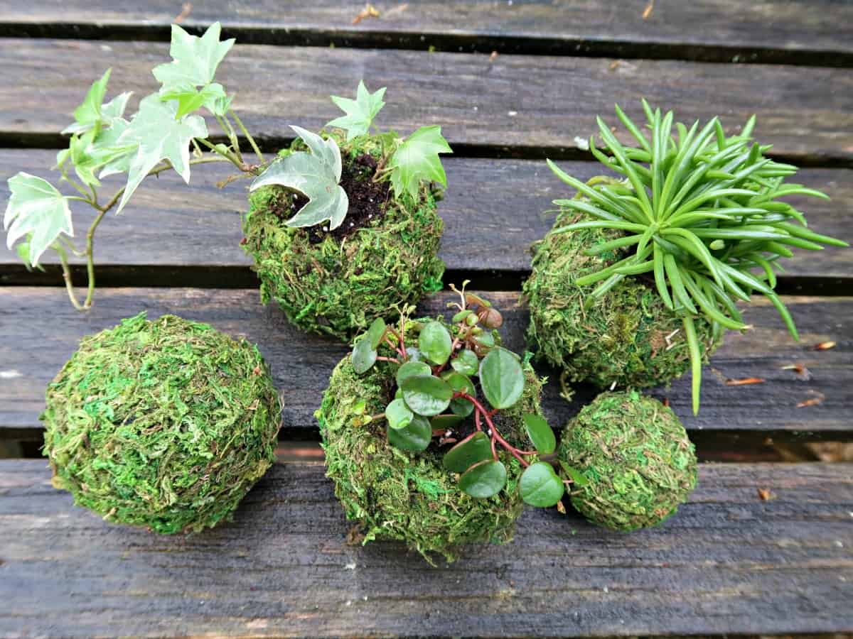 Kokedama is the Japanese art of growing plants in moss balls. Here, we show you how to create a secure, low maintenance version from old tennis balls and sheet moss. All the beauty of Kokedama moss balls without the mess and constant watering. #Kokedama #StringGarden #MossBalls #MossGarden #KokedamaBalls
