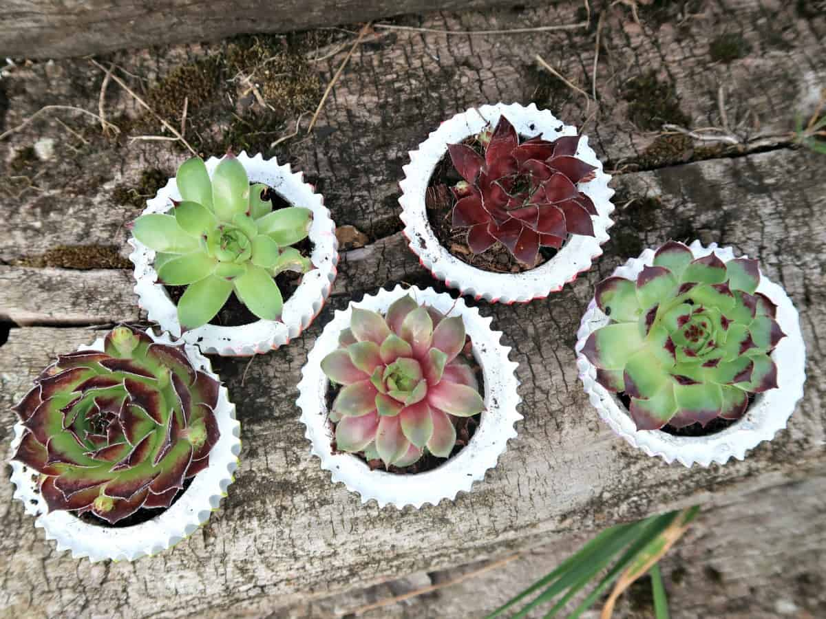 DIY concrete planters is they can be made in all sorts of shapes and sizes. Here we show you how to make cute little cement pots cast in silicone cupcake cases. These gorgeous cupcake planters are perfect for using as succulent party favours (if you can bring yourself to give them away), or as a unique table centrepiece.