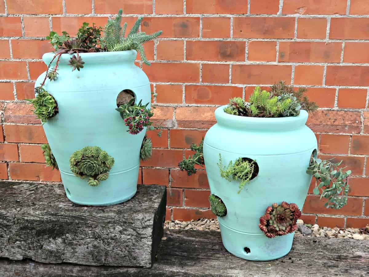 I repurpose a pair of mouldy old terracotta strawberry pots into two gorgeous succulent pots planted with a mixture of drought loving sedums and Sempervivums.